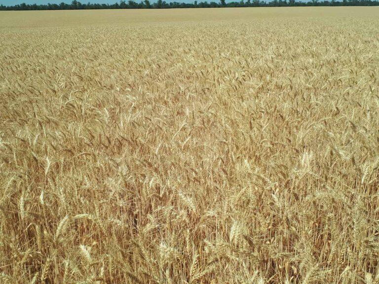Сплошной посев пшеницы
